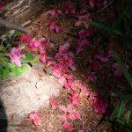 落花を植樹する(ツツジ)