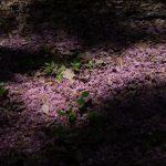 落花を植樹する(八重桜)